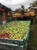 Apfelernte in Pracht gut gestartet