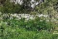 Bärenklau ist auch Plage im Puderbacher Land