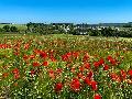 Rotes Blütenmeer: Mohnblumen bei Hilgenroth