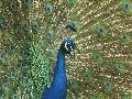Prächtige Pfauen im Zoo Neuwied