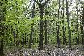 NI fordert Schutz der deutschen Rotbuchenwälder