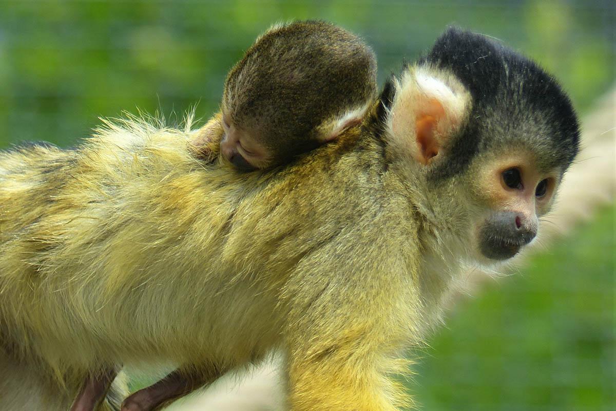 Zoo Neuwied: Familienzuwachs bei den Totenkopfäffchen