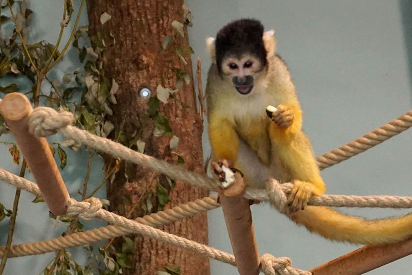 Immer was los: Affen in der Prinz Maximilian zu Wied Halle