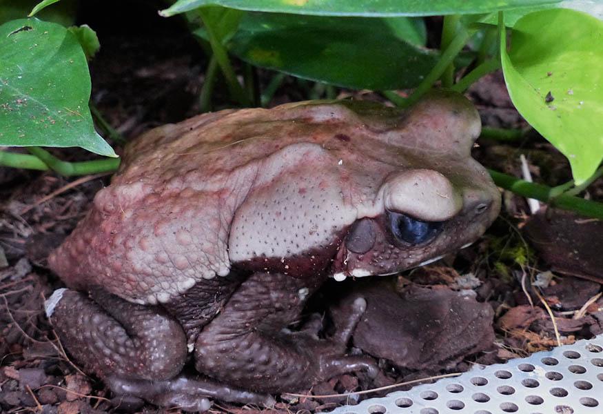 Die Tropfenkröte, ein Neuzugang im Neuwieder Exotarium, stammt aus Südamerika. Fotos: Zoo Neuwied
