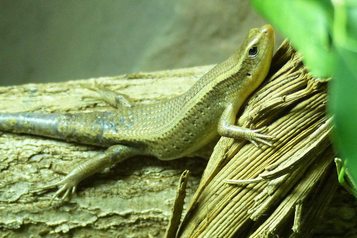 Winkelkopfagame im Exotarium Zoo Neuwied eingezogen