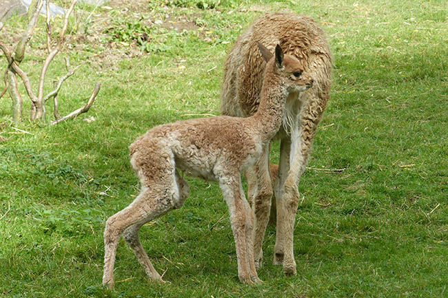 Erstes Vikunja-Kalb im Zoo Neuwied