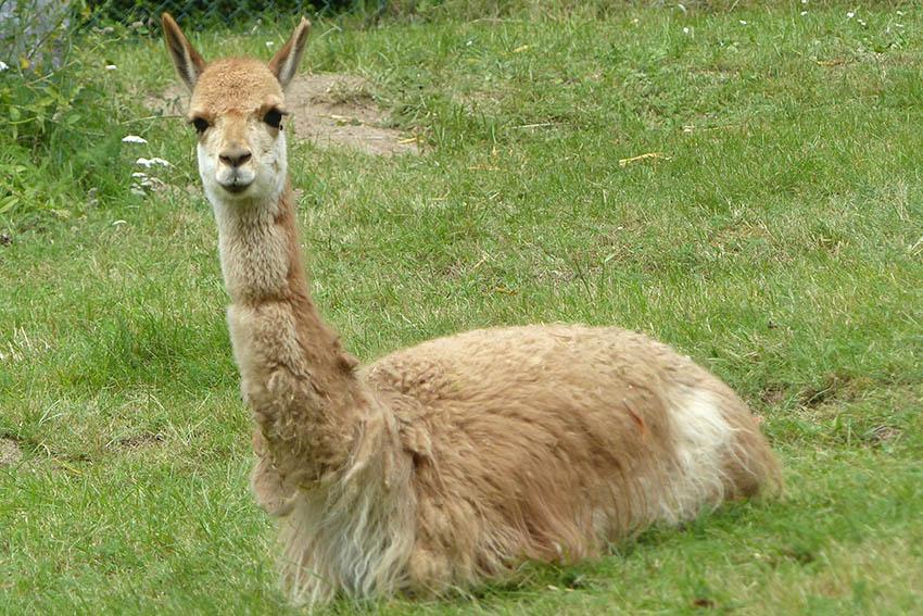 """""""Mini-Kamele"""" aus Südamerika"""