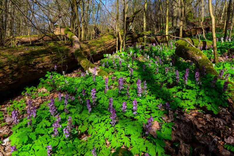 Hohler Lerchensporn verwandelt Wald in bunten Blütenteppich
