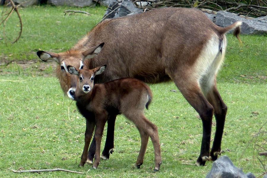 Der Wasserbock-Nachwuchs. Fotos: Zoo Neuwied