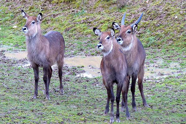 Wasserböcke – Eine neue Tierart des Zoo Neuwied