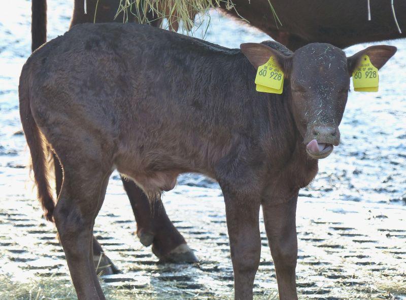 Ein Weihnachts-Kälbchen im Zoo Neuwied