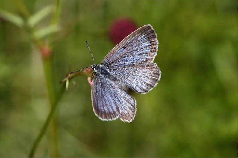Schmetterlingsprojekt zum Schutz der Wiesenknopf-Ameisenbl�ulinge