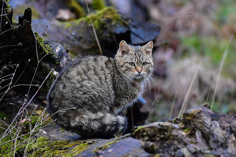 Vortrag in Dierdorf: Auf den Spuren der Wildkatze im Westerwald