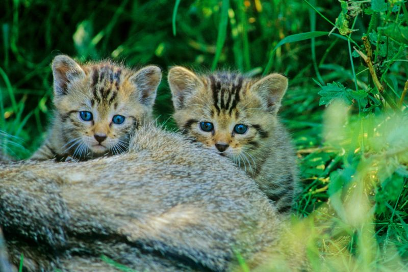 Wildkatzen droht besonders im Herbst der Tod an der Straße