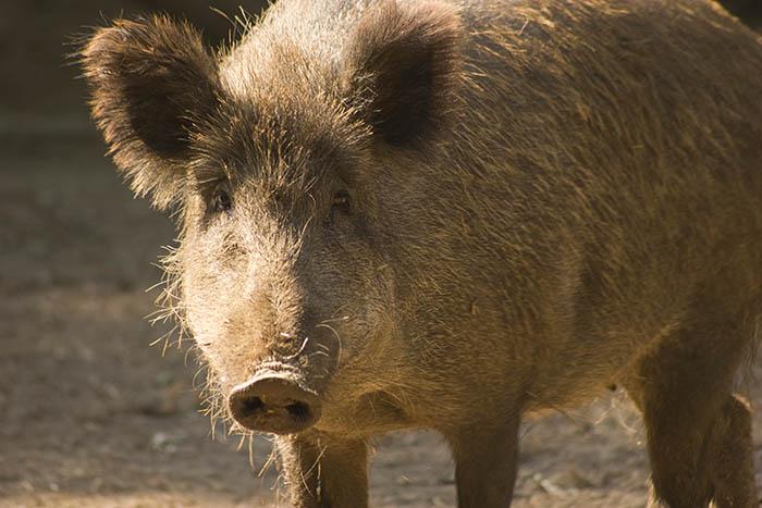 Höfken stellt Elektro- und Duftzaun gegen Afrikanische Schweinepest vor
