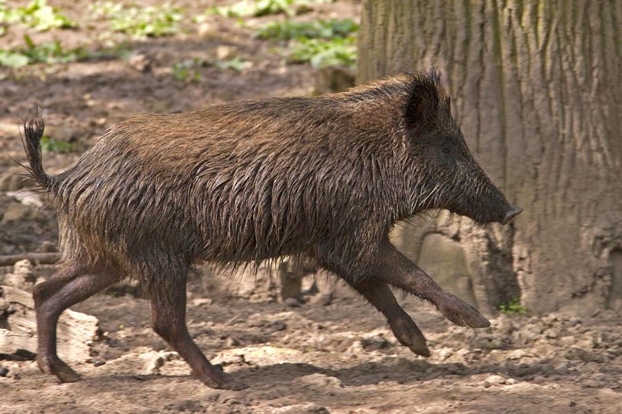 Ein Wildschwein war am Unfall schuld. Foto: Wolfgang Tischler