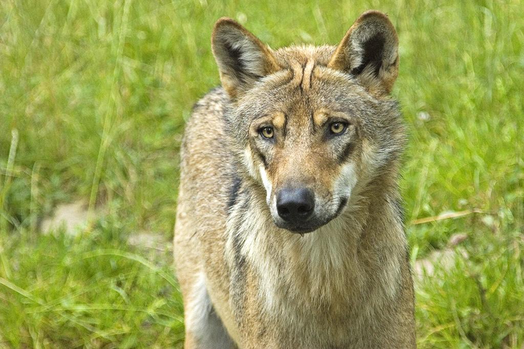 Wolf d�rfte auf Truppen�bungsplatz Daaden heimisch werden