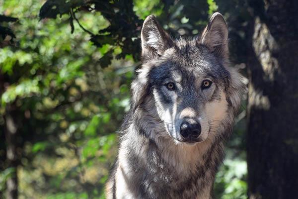 Kreis, Land und Verb�nde informieren �ber Wolfsmanagement