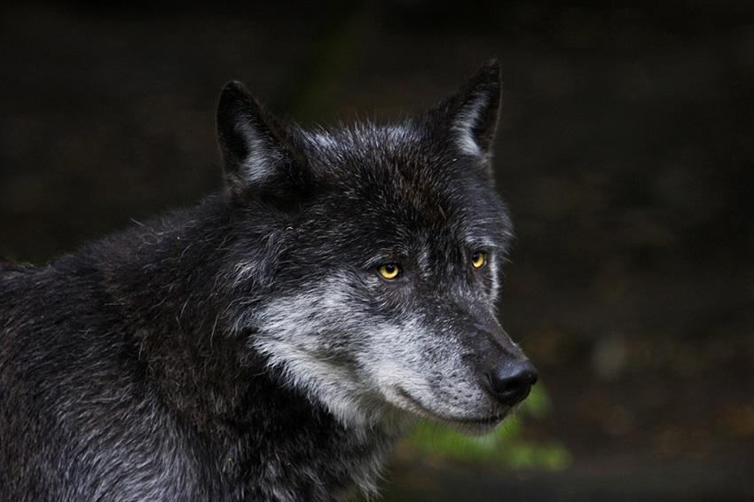Wolfsindividualisierung liegt vor – im Westerwald sesshaft