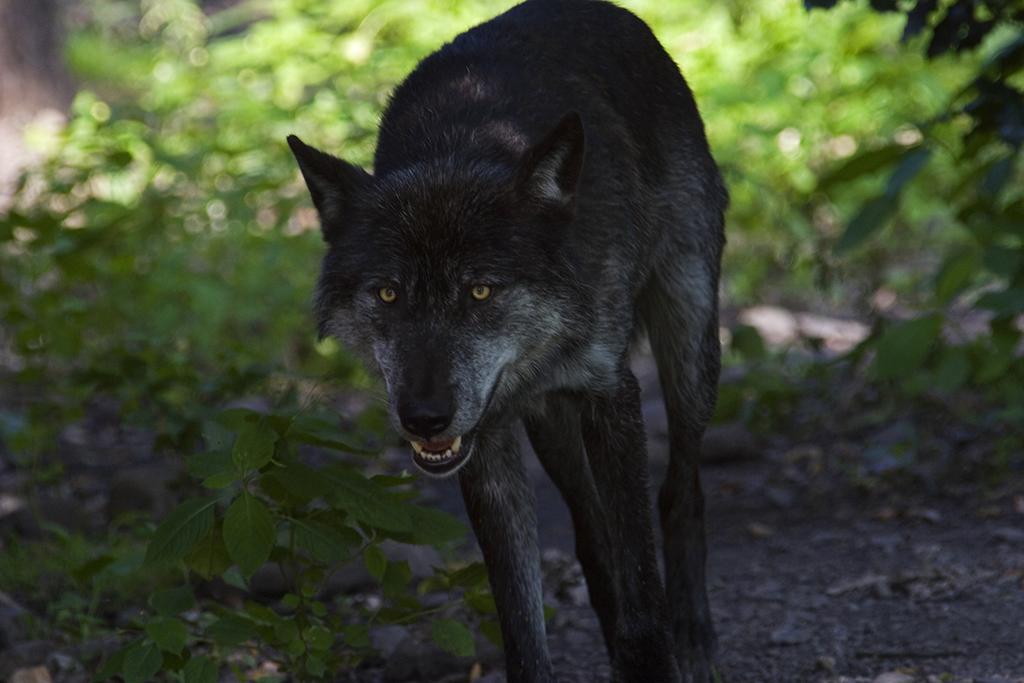 Wolf greift offenbar Rinderherde in Hasselbach an