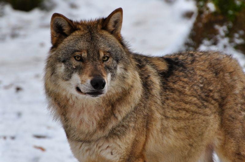 Keine Jagd auf Wölfe