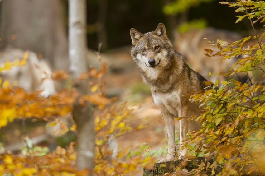 Vermutlich Wolfswelpe an der B 8 bei Rettersen tot gefahren