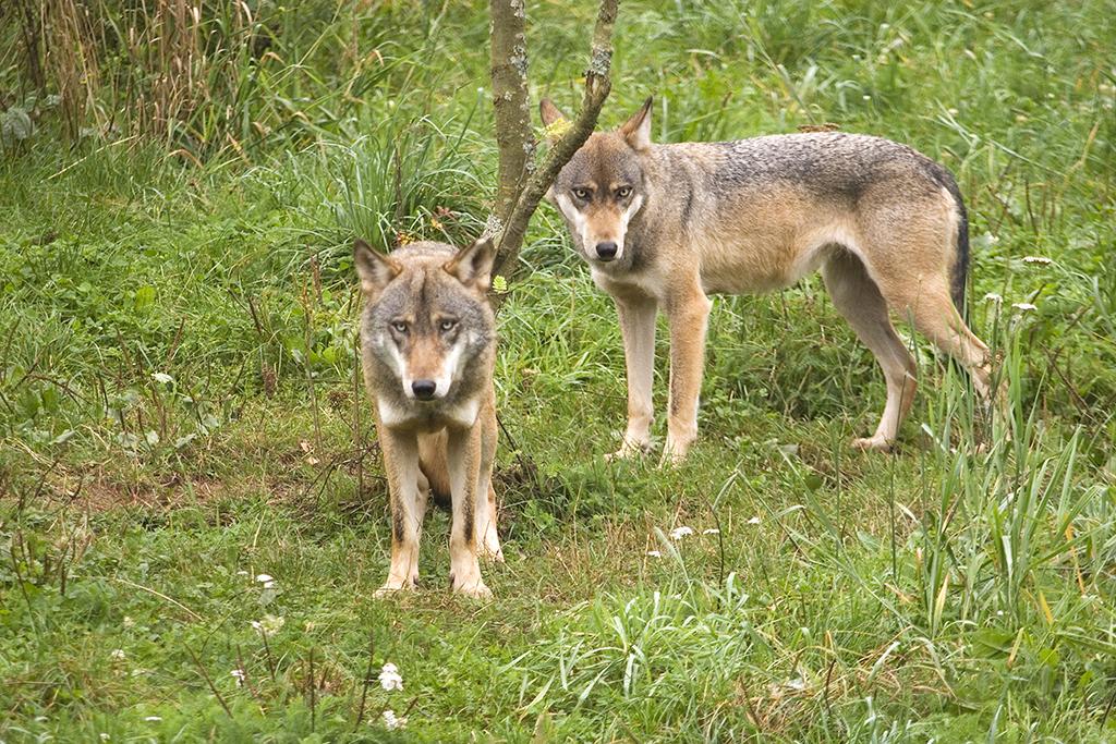 Neue Wolfsnachweise in den Kreisen Altenkirchen und Neuwied