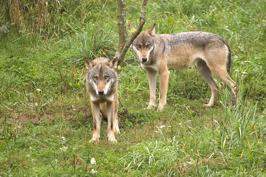 Warum sind Wölfe spurlos verschwunden? Symbolfoto