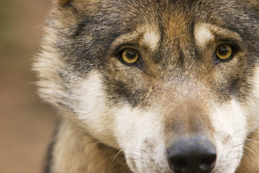 Lebt ein Wolf im Kreis Neuwied?