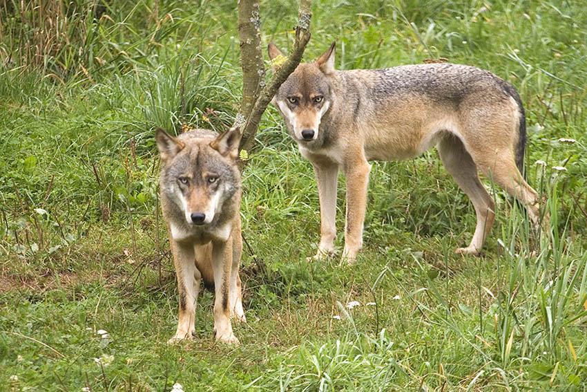 Die rheinland-pfälzischen Weidehalter sehen durch wachsende Wolfspopulationen ihre Tiere gefährdet. Foto: Wolfgang Tischler