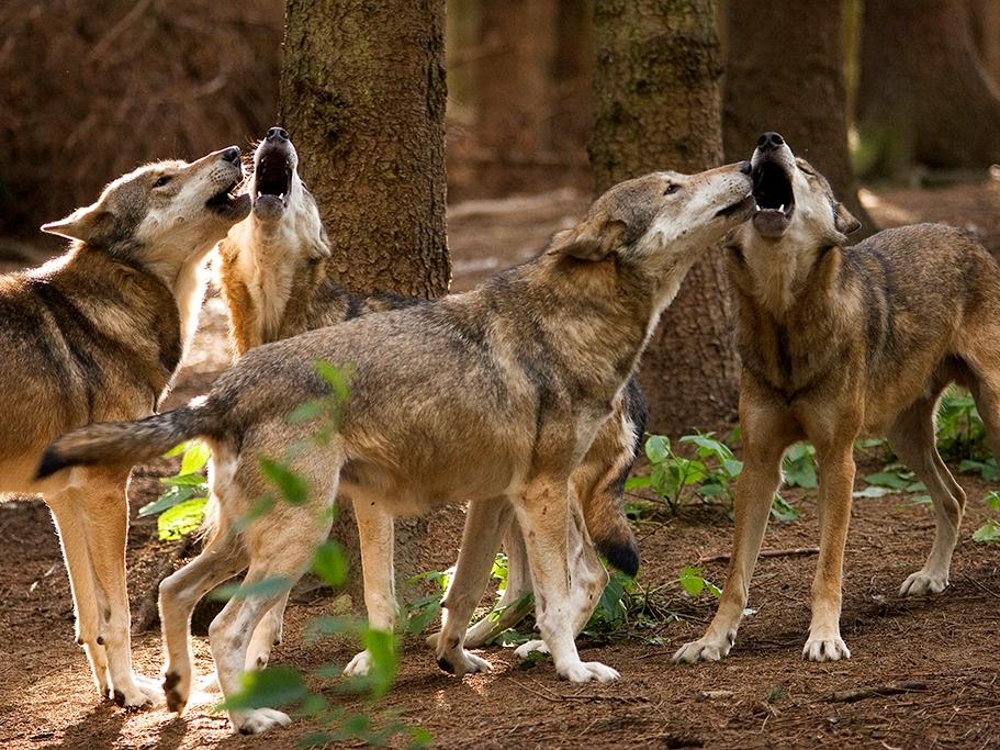 Wolfsnachweise: Weitere Nutztierrisse im Westerwald
