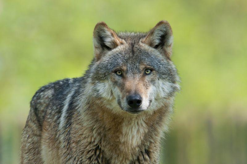 Fressen Wölfe Großmütter? Wolfs-Event zum internationalen Tag des Wolfes