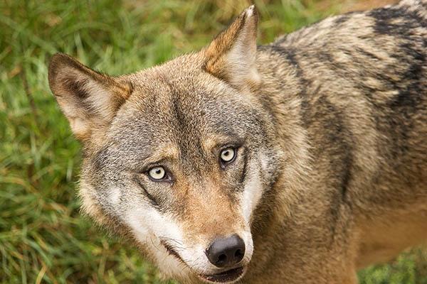 Wolfsriss bei Leutesdorf war weibliches Tier