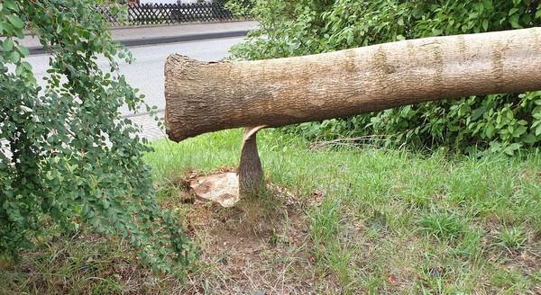 Gefährlicher Eingriff in den Straßenverkehr: Wer hat den Baum angesägt?