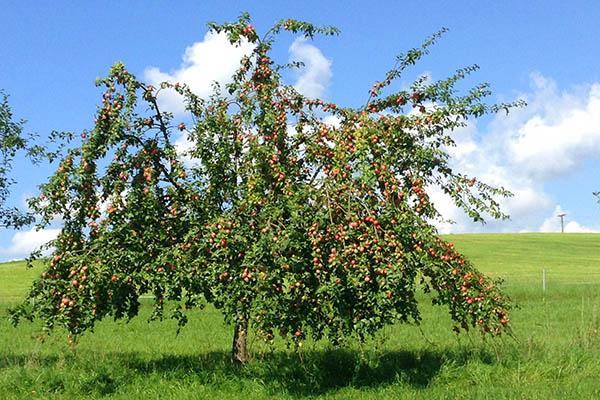 Öffnungszeiten der Apfelannahme in Oberraden