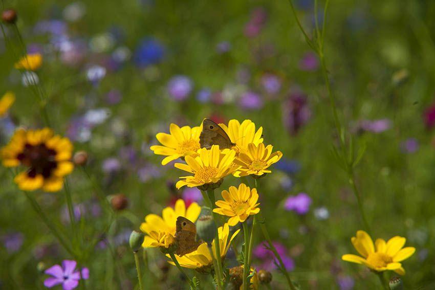 Wildblumenwiesen und Wiesenstreifen werden gemäht