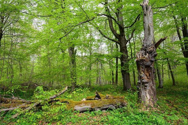 Forderungen zum Tag der deutschen Buchenwälder am 25. Juni