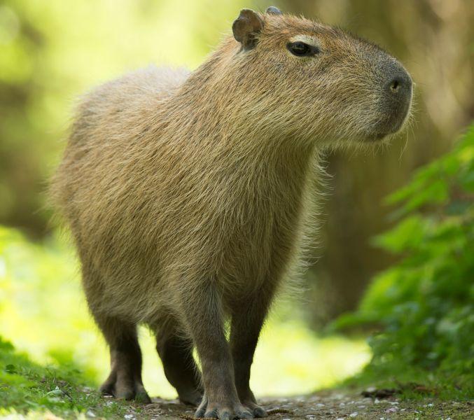 Capybara. Fotos: Zoo Neuwied