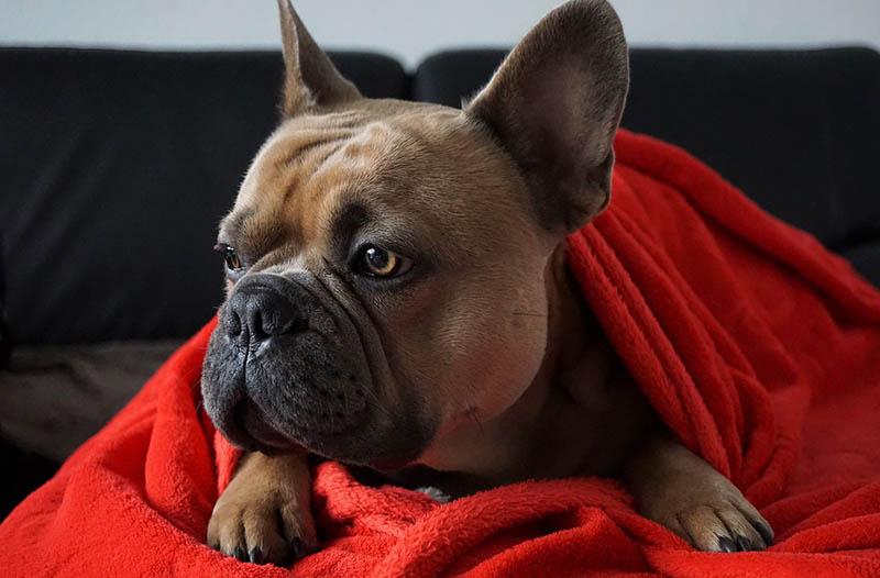 Rosenkrieg um Bulldogge Frieda endet vor Landgericht