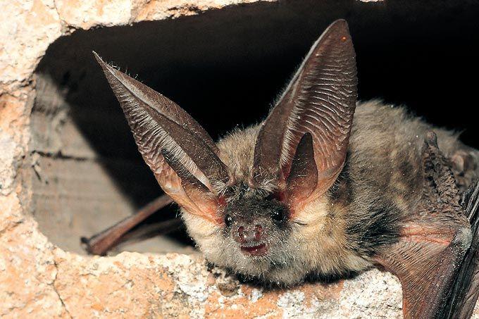NABU: Fledermäuse sind bald zu hören