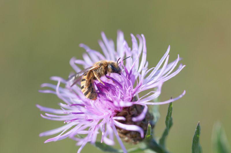 Wildbienen – die neuen Weltbienen