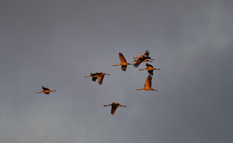 """Kraniche - Die """"Vögel des Glücks"""" ziehen über den Westerwald"""