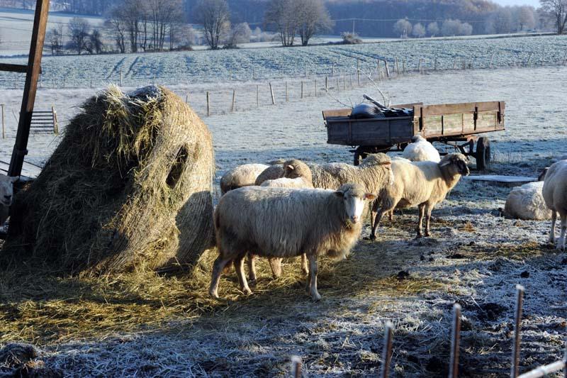 Wolf im Westerwald: Offenbar erneut Schafe in Birnbach gerissen