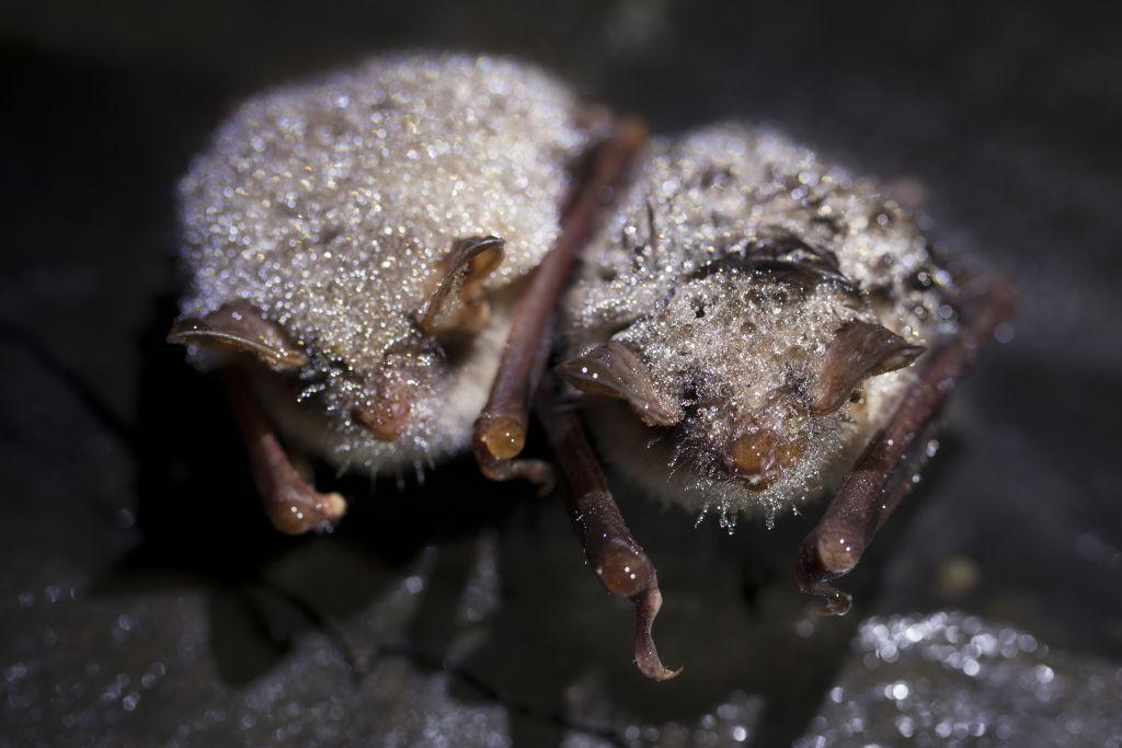 NABU-Fledermaus-Zensus: Dauerregen setzt Fledermäusen zu
