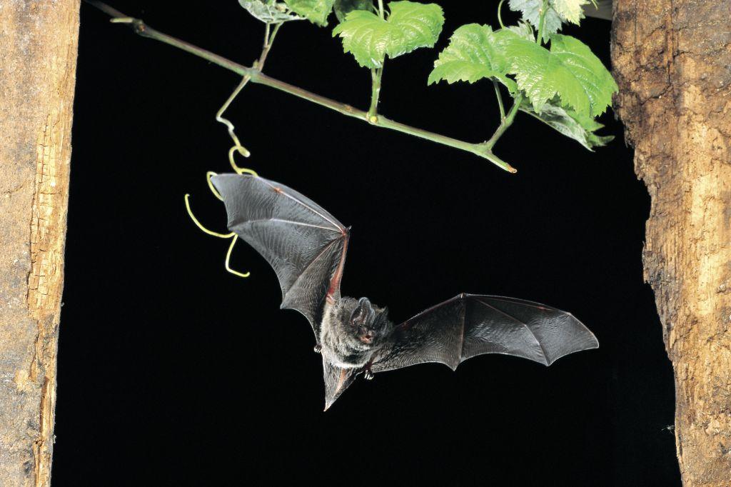 NABU: Landesweite Fledermauszählung am Wochenende