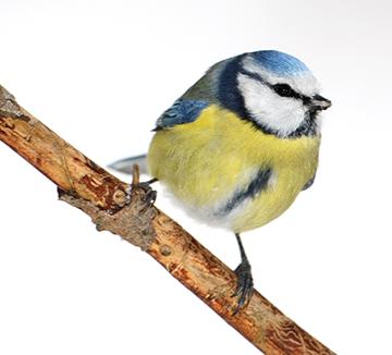 NABU: Wieder mehr Wintervögel in Rheinland-Pfalz