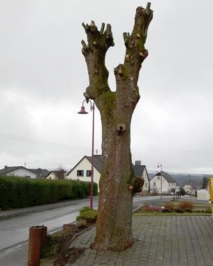 Verein Umwelt und Natur fragt: Baumfrevel oder Baumpflege?