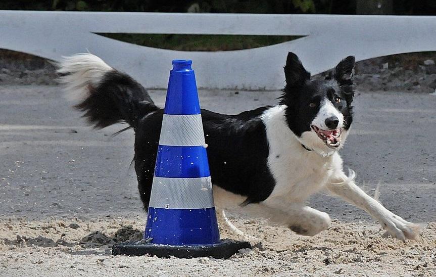 Obedience European Open: Hundesport-EM in Oppertsau
