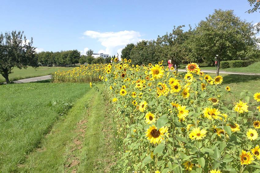 Kirche kommt ins Dorf - Sonnenblumen begrüßen Besucher