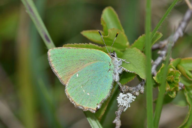 Der Grüne Zipfelfalter ist Schmetterling des Jahres 2020